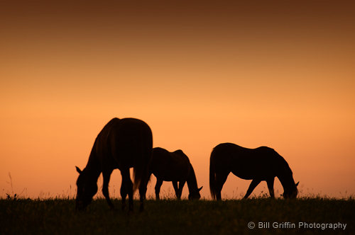 Silhouette of thoroghbred horses in pasture